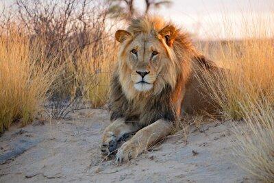 Poster Big männlichen afrikanischen Löwen, Kalahari-Wüste