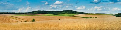 Poster big panoramic view of landscape of wheat field, ears and yellow and green hills