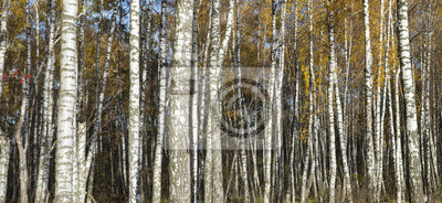 Birch forest stems in fall panorama