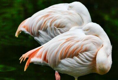 birds Flamingo