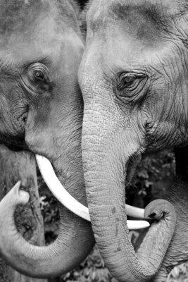 Poster Black and white close-up Foto von zwei Elefanten wird liebevoll.
