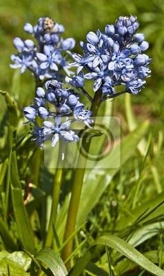 Blau scilla