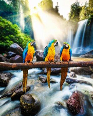 Poster Blau-und-gelber Macaw Ara ararauna