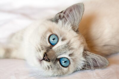 Poster Blaue Augen Kitten