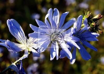 Blaue Blüten Von Cichory Wilde Pflanze Wandposter Poster Chicorée