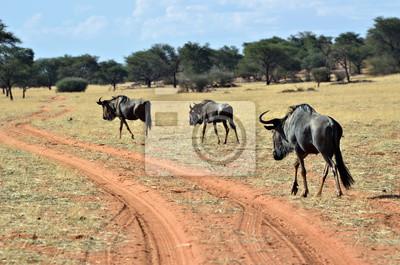 Blaue Gnu-Antilope, Namibia