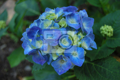 Blaue Hortensie Hortensie Wandposter Poster Hydrangea