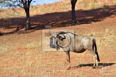 Blaue Wildebeest-Antilope