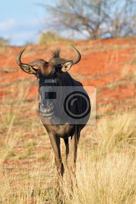 Blaue Wildebeest-Antilope, Afrika