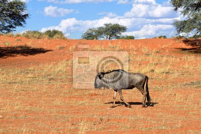 Blaue Wildebeest-Antilope in Kalahari, Afrika