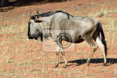 Blaue Wildebeest-Antilope, Namibia