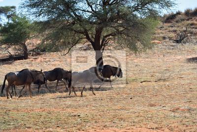 Blaue Wildebeest-Antilopen