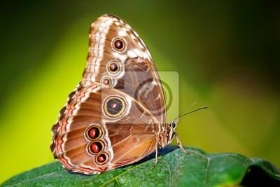 blauen Morpho-Schmetterling (Morpho peleides)