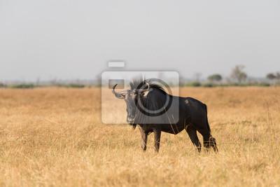 Blauer Wildebeest im trockenen Gras
