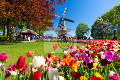 Poster Blooming colorful tulips flowerbed in public flower garden with windmill. Popular tourist site. Lisse, Holland, Netherlands.