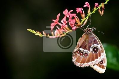 Blue Morpho-Schmetterling hängen aus eine rosa Blume