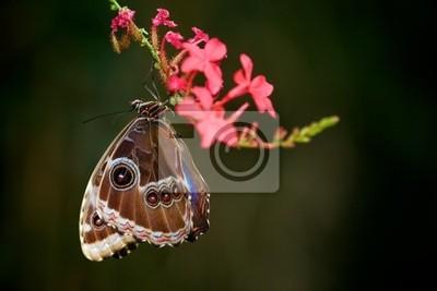 Blue Morpho-Schmetterling hängen Sie eine Blume