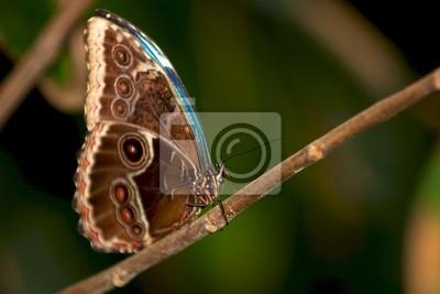Blue Morpho-Schmetterling mit seinen Flügeln geschlossen