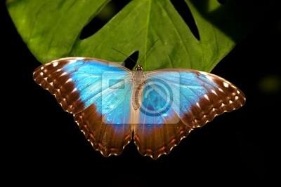 Blue Morpho-Schmetterling (Morpho peleides)