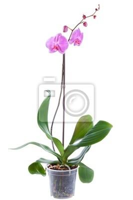 Blühende Pflanzen von Orchideen im Blumentopf isoliert auf weiß