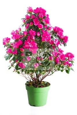 Blühende Pflanzen von rosa Azalee in grün Blumentopf isoliert auf w