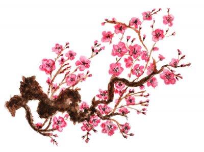 Poster Blühender Zweig von Sakura. Isoliert auf weißem Hintergrund