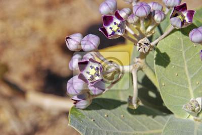 Blume in der Wüste von Oman