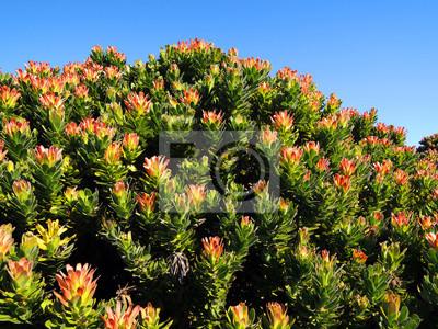 Blumen in namaqualand Nationalpark-grünen Hintergrund