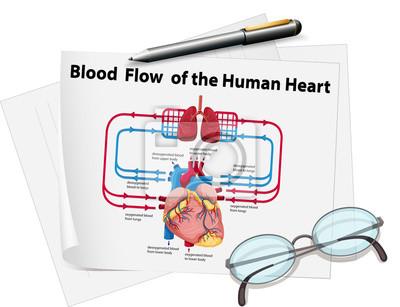 Blutfluss des menschlichen herzens auf papier wandposter • poster ...