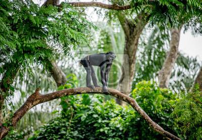 Bonobo auf einem Baum im Hintergrund eines tropischen Waldes. Demokratische Republik Kongo. Afrika.