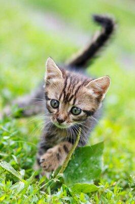 Poster Braune Streifen niedlichen Kätzchen zu Fuß auf dem Rasen