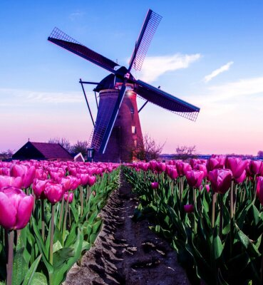 breathtaking beautiful inspirational landscape with a windmill in the middle of a tulip field in Kinderdijk, Netherlands. Fascinating places, tourist attraction.