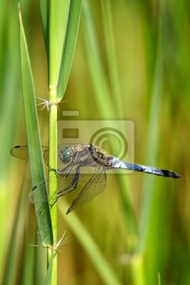 Broad Plattbauch Dragonfly