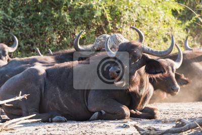 Buffalo Gruppe sitzen