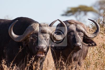 Buffalo Paar