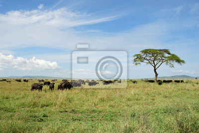 Büffel in Serengeti, Tansania, Afrika