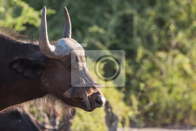 Büffel und oxpecker