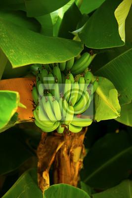 Bündel grüne Bananen