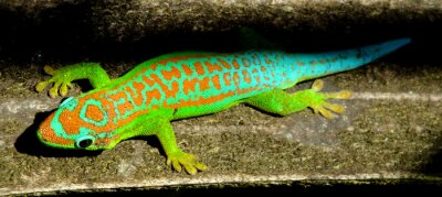 Poster Bunte Türkisgrün gecko