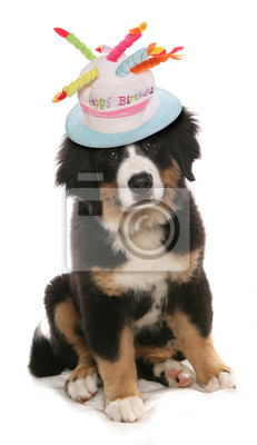 Burmese Mountain Dog Happy Birthday Hat Wandposter O Poster