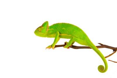 Poster Chameleon auf einem Zweig