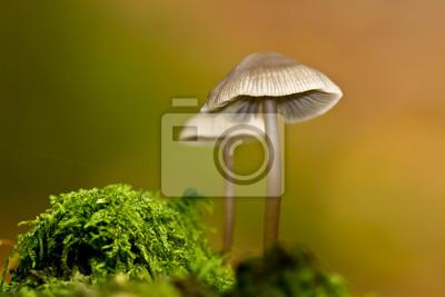 Champignon Mycene en automne