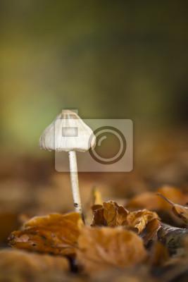 Champignon Mycene pur dans un sous-bois en automne