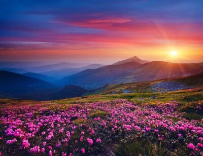 Poster Charming pink flower rhododendrons at magical sunset. Location Carpathian mountain, Ukraine, Europe. Beautiful nature landscape. Scenic image of idyllic summer wallpaper. Discover the beauty of earth.
