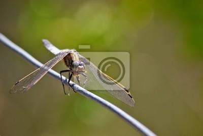 Chaser Dragonfly Essen ein Hover-fly