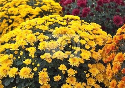Chrysanthemen, Toussaint