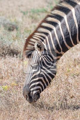 Close-up eines Burchells Zebras weiden lassen
