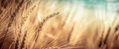 Poster Close-up Of Ripe Golden Wheat With Vintage Effect, Clouds And Sky - Harvest Time Concept