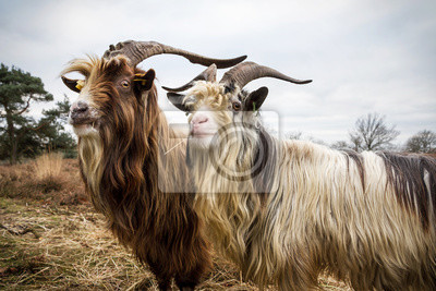 Close up portrait of a couple of dutch landrace goats on the heath in the Netherlands