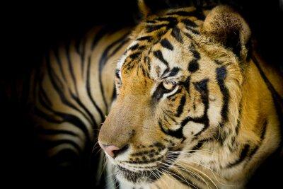 Poster Close up Tiger
